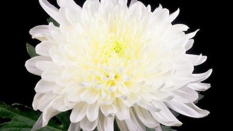 White chrysanthemum flower opening
