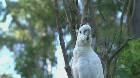 White Cockatoo standing on a tree
