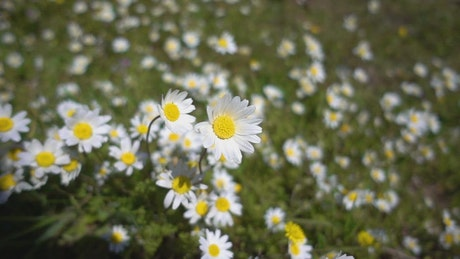 White daisy flower field in the meadow