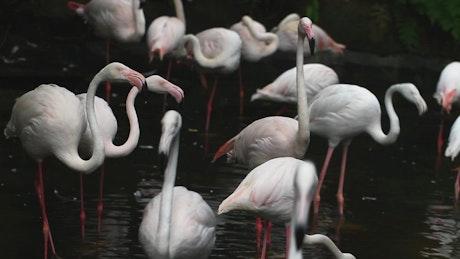 White Flamingos in a lake