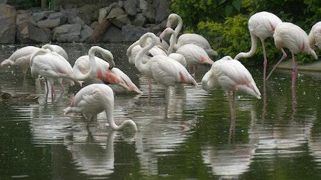 White flamingos in the pond