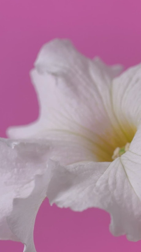 White flower zoom in shot