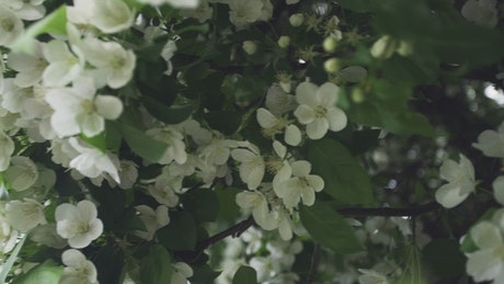 White flowers covering a tree
