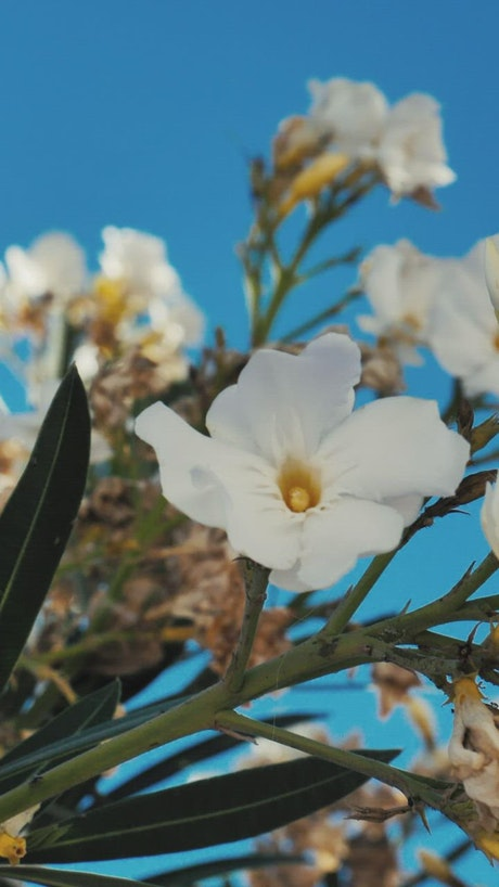 White flowers in the breeze