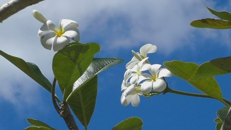 White flowers moving in a clear sky