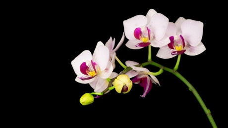 White orchid on a branch opens slowly