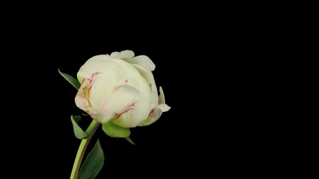 White rose blooming on black background