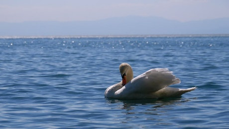 White swan chilling on the lake