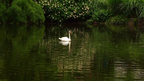 White swan on a calm lake