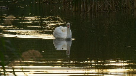 White swan swimming on the lake