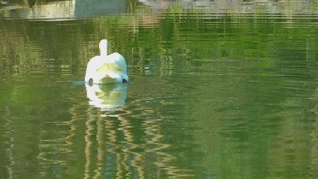 White swan taking water in a lake