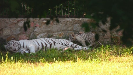 White tiger and her cub laying on the grass