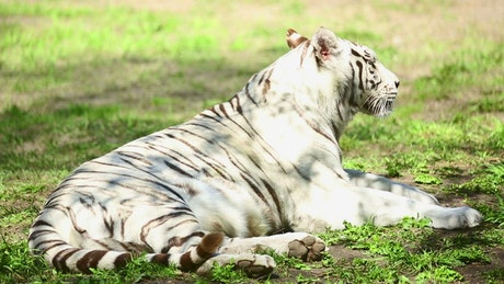 White tiger and her cub resting on the grass