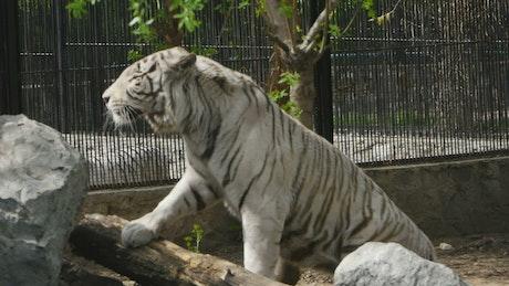 White tiger climbing rocks at the zoo