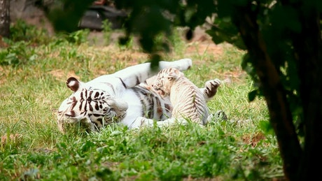 White tiger cub playing with his mother in the grass