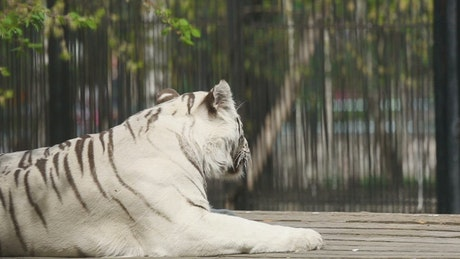 White tiger laying at the zoo
