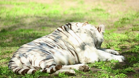 White tiger laying in the grass yawns