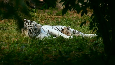 White tiger resting in nature