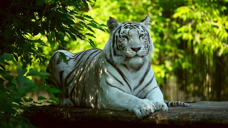 White tiger resting in the woods