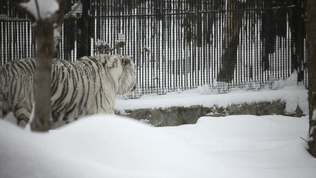 White tiger walking in the snow