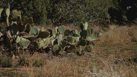 wild cactus plant on the field