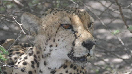 Wild Cheetah resting in the shade