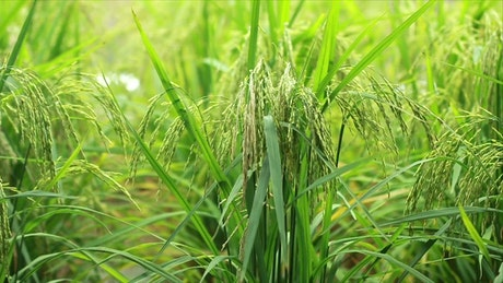 Wild grass in a meadow