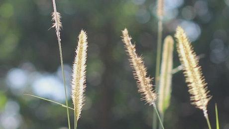 Wild grass in the breeze