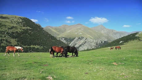 Wild horses in the mountains while grazing