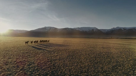 Wild horses running in the meadow, full aerial shot