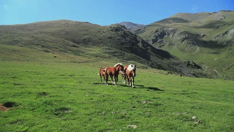 Wild horses walking in the mountains