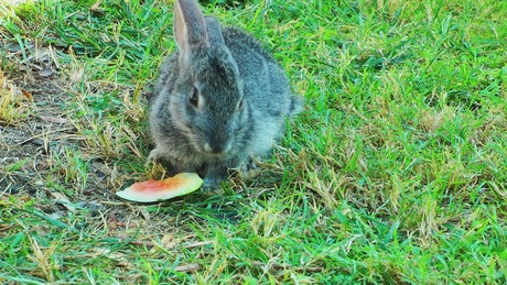 Wild rabbit eating watermelon in the grass