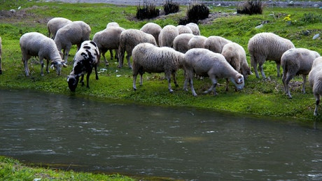 Wild sheep grazing by a river