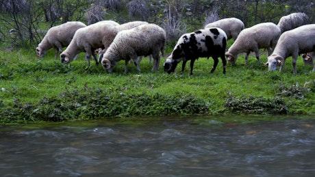 Wild sheep grazing by a stream