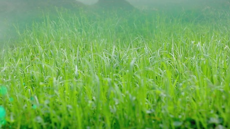 Wind moving the green leaves of the grass