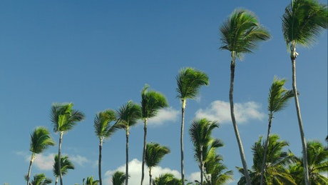 Windswept trees against a blue sky