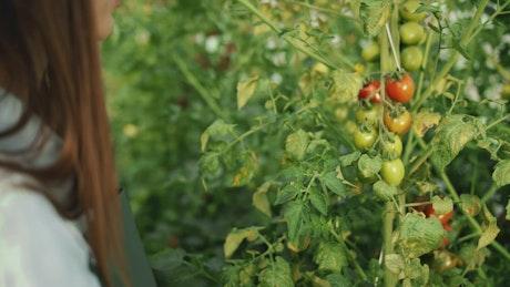 Woman checks growth of tomatoes on vine