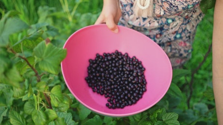 Woman picking currant berries