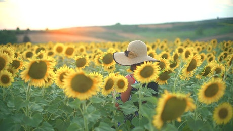 Woman walking on a fresh sunflower field