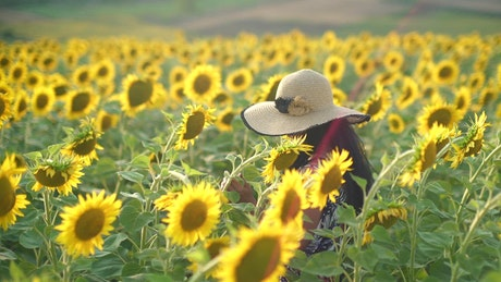 Woman walking through a sunflower field, tracking shot