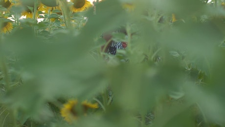 Woman with a hat in a sunflower field
