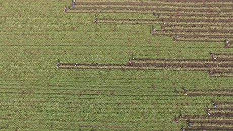 Women harvesting the crop field