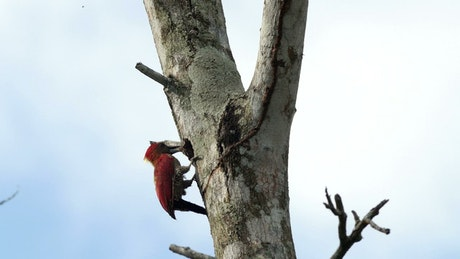 Woodpecker clearing out a tree