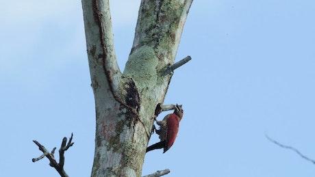 Woodpecker inside a tree