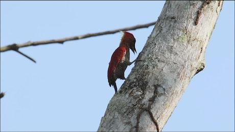Woodpecker on a white tree
