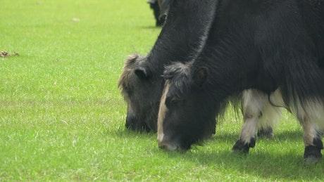 Yaks grazing in the field