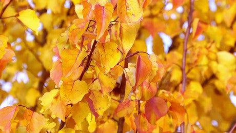 Yellow autumn leaves close up