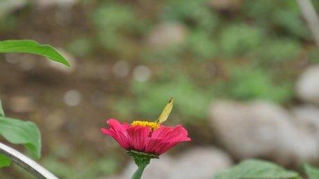 Yellow butterfly on a red flower