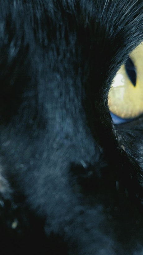 Yellow eyed black cat, close up