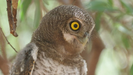 Yellow eyed brown owl in the wild